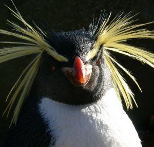 Rockhopper-penguin1