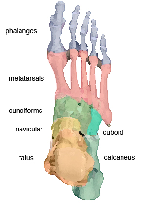 Foot-bone-description
