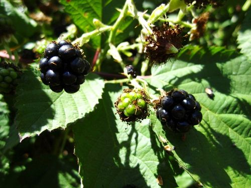 Friday blackberries
