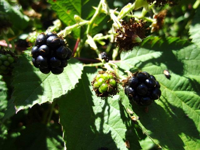 Friday blackberries