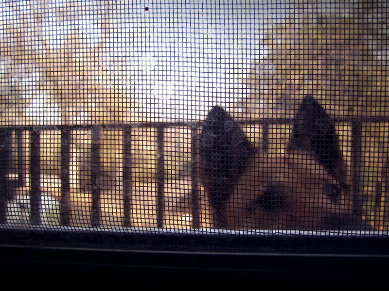 German Shepard looking in window