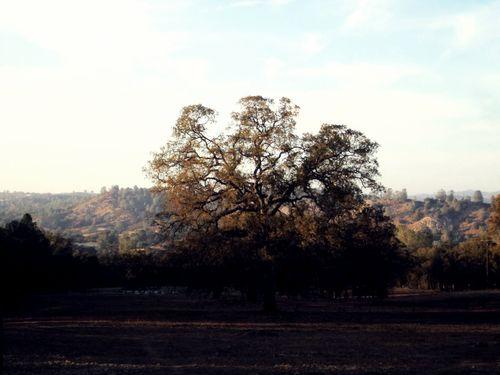 Coarsegold Oak