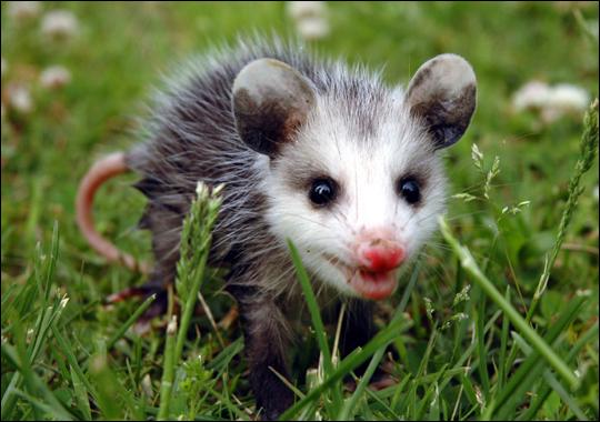 Virginia-opossum